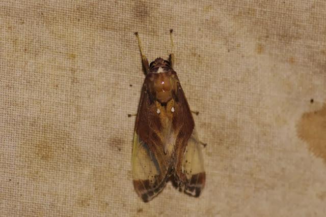 Arctiinae : Phaegopterini : Bertholdia flavidorsata HAMPSON, 1901. Los Cedros, 1400 m, Montagnes de Toisan, Cordillère de La Plata (Imbabura, Équateur), 21 novembre 2013. Photo : J.-M. Gayman