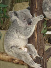 A koala resting