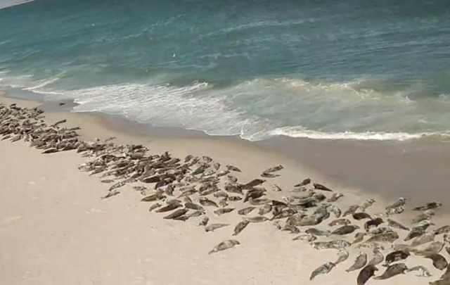 Arial-footage-shows-massive-horde-of-seals-on-Cape-Cod-beach