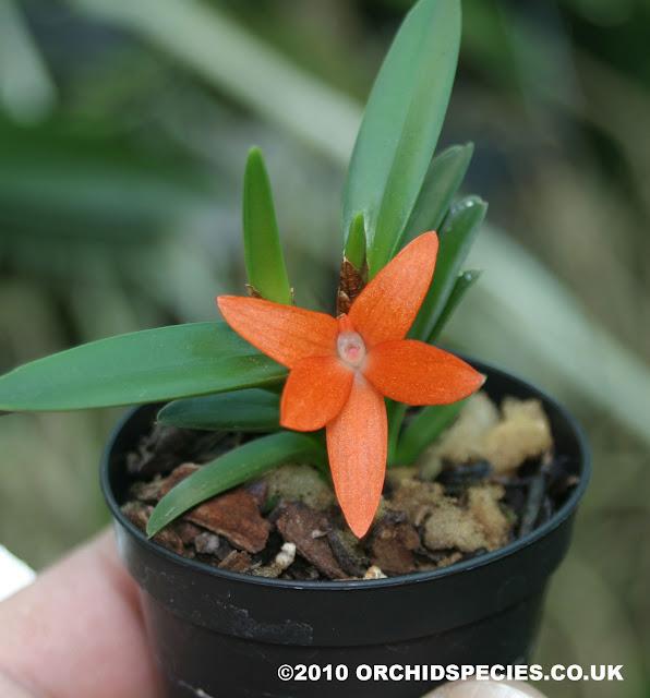Растения из Тюмени. Краткий обзор - Страница 3 Ceratostylis-retisquama2