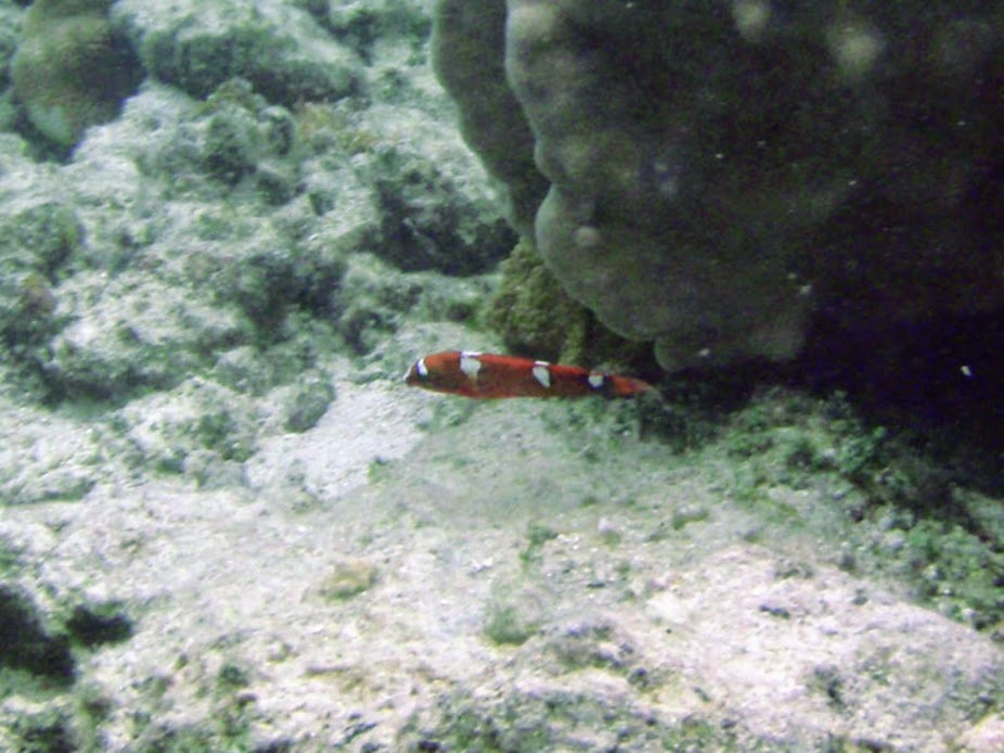 Coris gaimard (Yellow-tail Coris), Rarotonga.