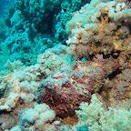 Stonefish on Yolanda Reef