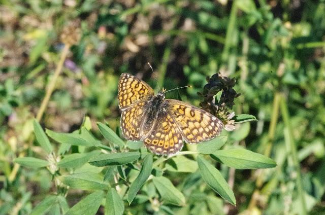 Melitaea cinxia (L., 1758), mâle. Aix-en-Provence (13, France), 26 juillet 2014. Photo : J.-M. Gayman