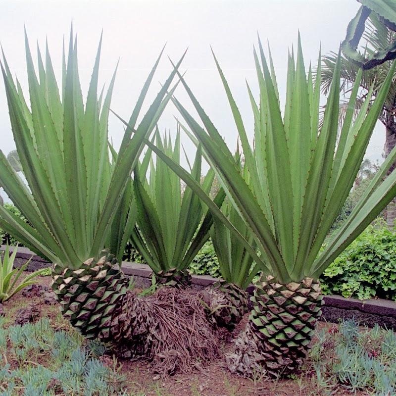 Madeira_28 Funchal Aloes.jpg