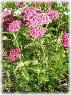 Yarrow Cerise queen in flower
