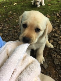 Yellow Lab puppy tugging a towel
