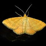 Geometridae : Sterrhinae : probablement Idaea philocosma MEYRICK, 1888. Umina Beach (NSW, Australie), 10 novembre 2011. Photo : Barbara Kedzierski