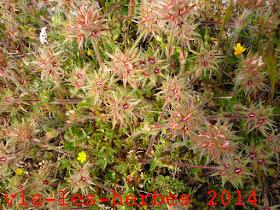 Trefle etoile Trifolium stellatum.jpg