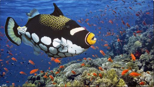 Clown Triggerfish, East Africa.jpg