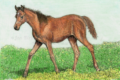 Arabian Foal in pen and ink
