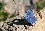 Adonisblåfugl, bellargus - han2.jpg