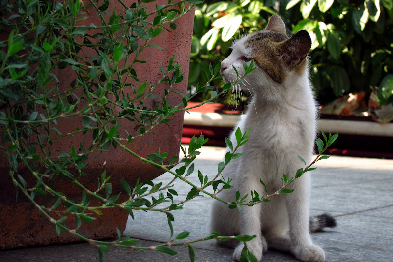 Taksim kitten