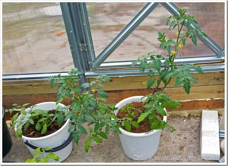 jussin_tomaatti