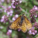 Melitaea phoebe (DENIS & SCHIFFERMÜLLER, 1775), femelle. Les Hautes-Courennes (549 m), Saint-Martin-de-Castillon (Vaucluse), 7 mai 2014. Photo : J.-M. Gayman