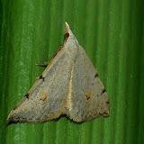Geometridae : Oenochrominae : Dichromodes estigmaria WALKER, 1861. Umina Beach (N. S. W., Australie), 1er janvier 2012. Photo : Barbara Kedzierski