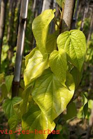 feuilles de betel.jpg