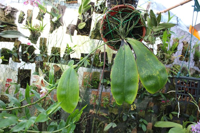 Phalaenopsis sumatrana IMG_1893