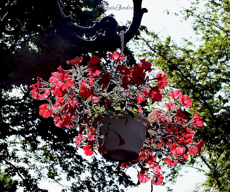flori roz mogosoaia mai 2013