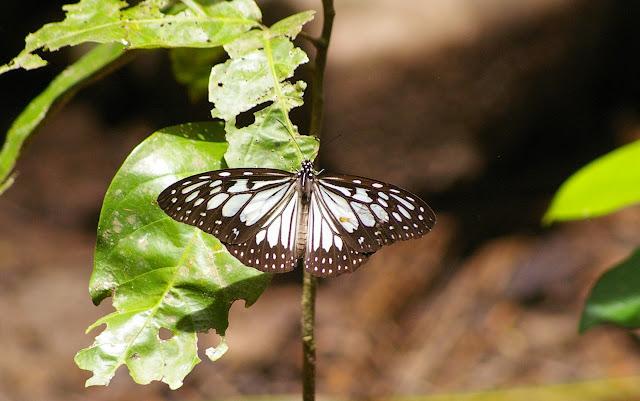 Ideopsis juventa kinitis FRUHSTORFER, 1904. Pulau Mantanani (Sabah, Malaisie) 28 juillet 2011. Photo : J.-M. Gayman