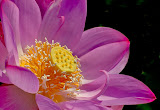 """Lotus Pink"" by Liz Bumgarner -- 1st Place Digital General A"