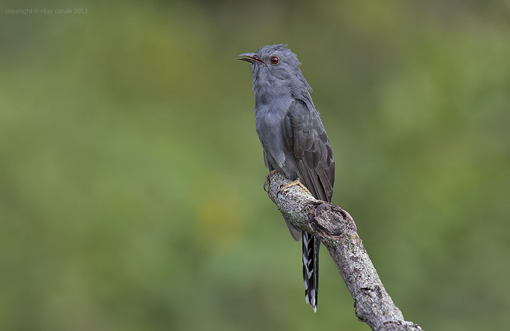 Grey-bellied Cuckoo * Cacomantis passerinus * 23 cms