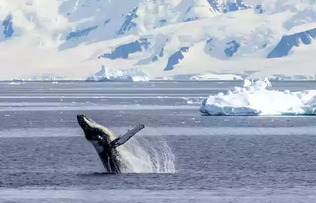 Whales are returning to the poles