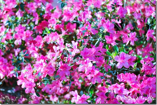 Azaleas using cherry blossom from enchanted collection(FC)