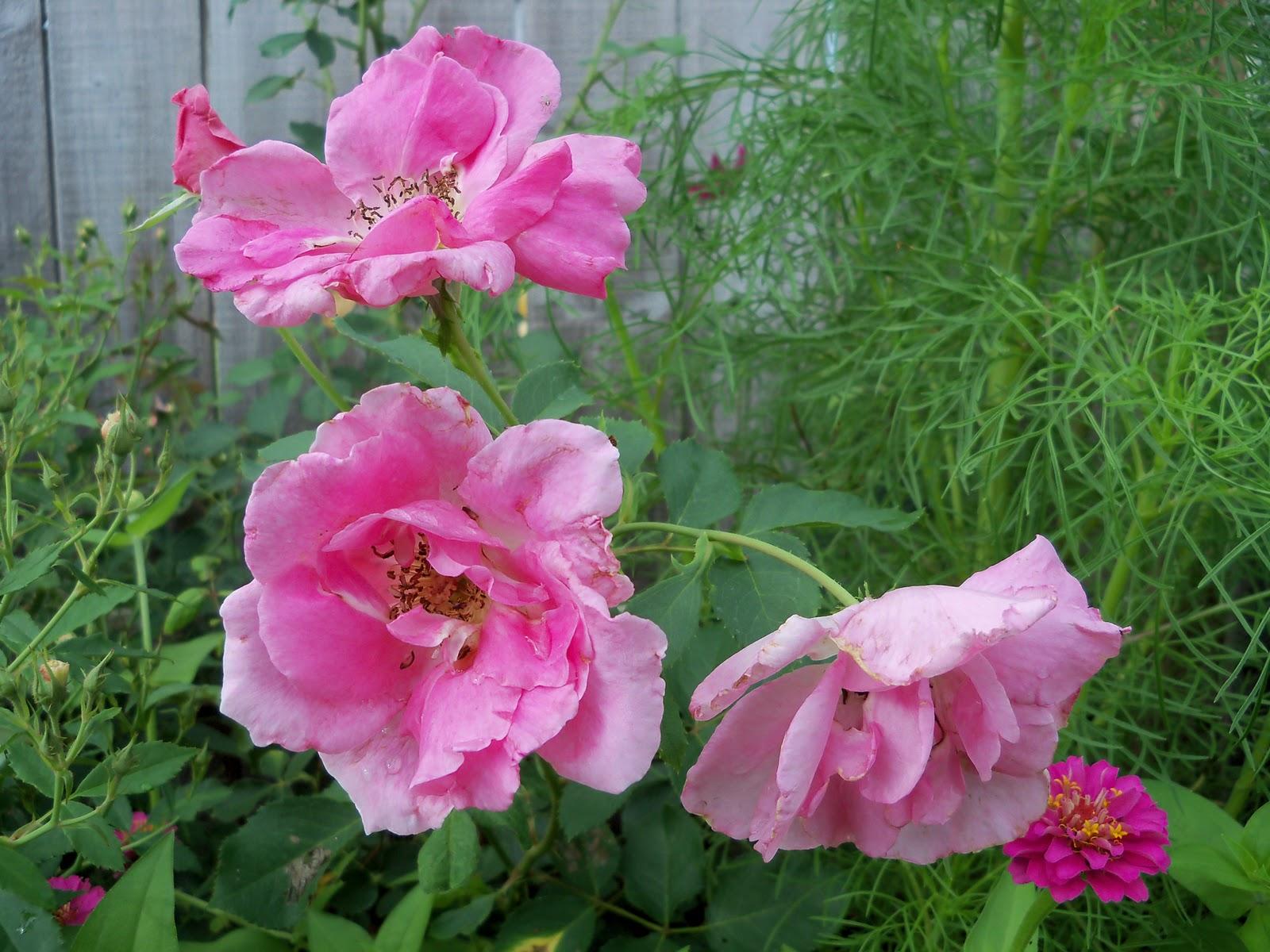 Gardening 2010, Part Three - 101_3553.JPG