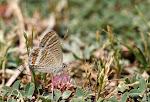 Vandreblåfugl, boeticus.jpg