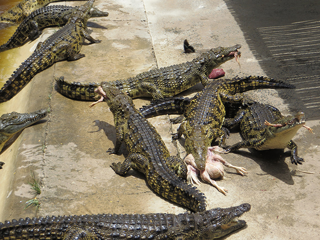 Nijlkrokodillen worden hun weekelijkse maaltijd gevoerd, Crocodile Centre St. Lucia, Zuid Afrika