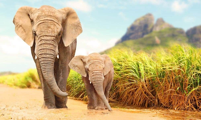 World Elephant Day 2021: Every day spends 12 to 18 hours eating, know more interesting things about elephants