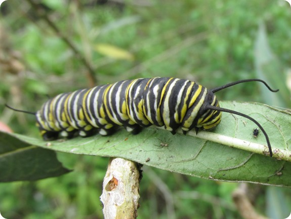 Monarch Caterpillar (Danaus plexippus) (4)
