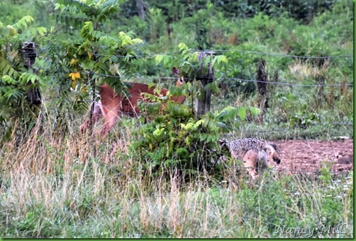 D2018-07-11 40 - Cades Cove Walk -  Deer & Coyote are face to face
