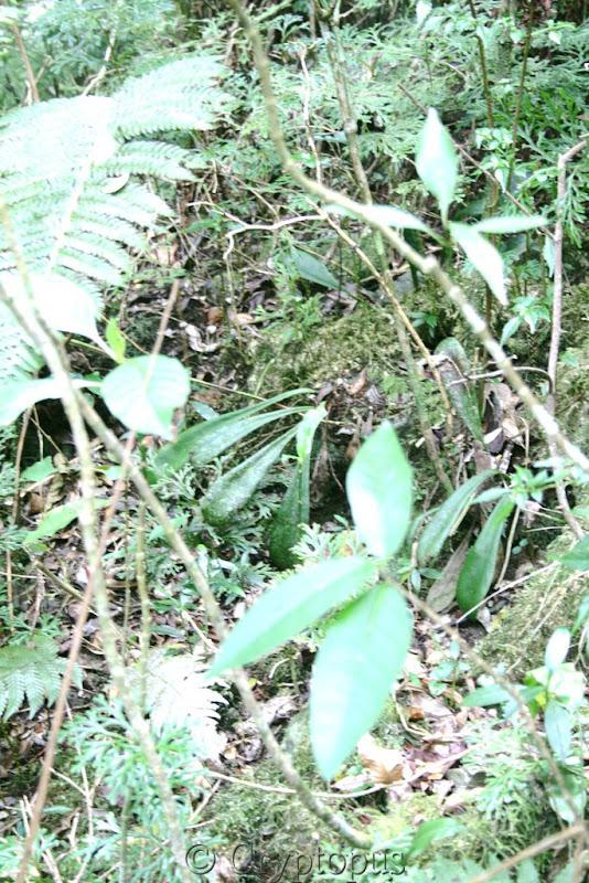 Orchidées in situ, sur l'ile de la Réunion IMG_2109