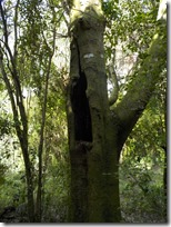 Old hollow tree-2