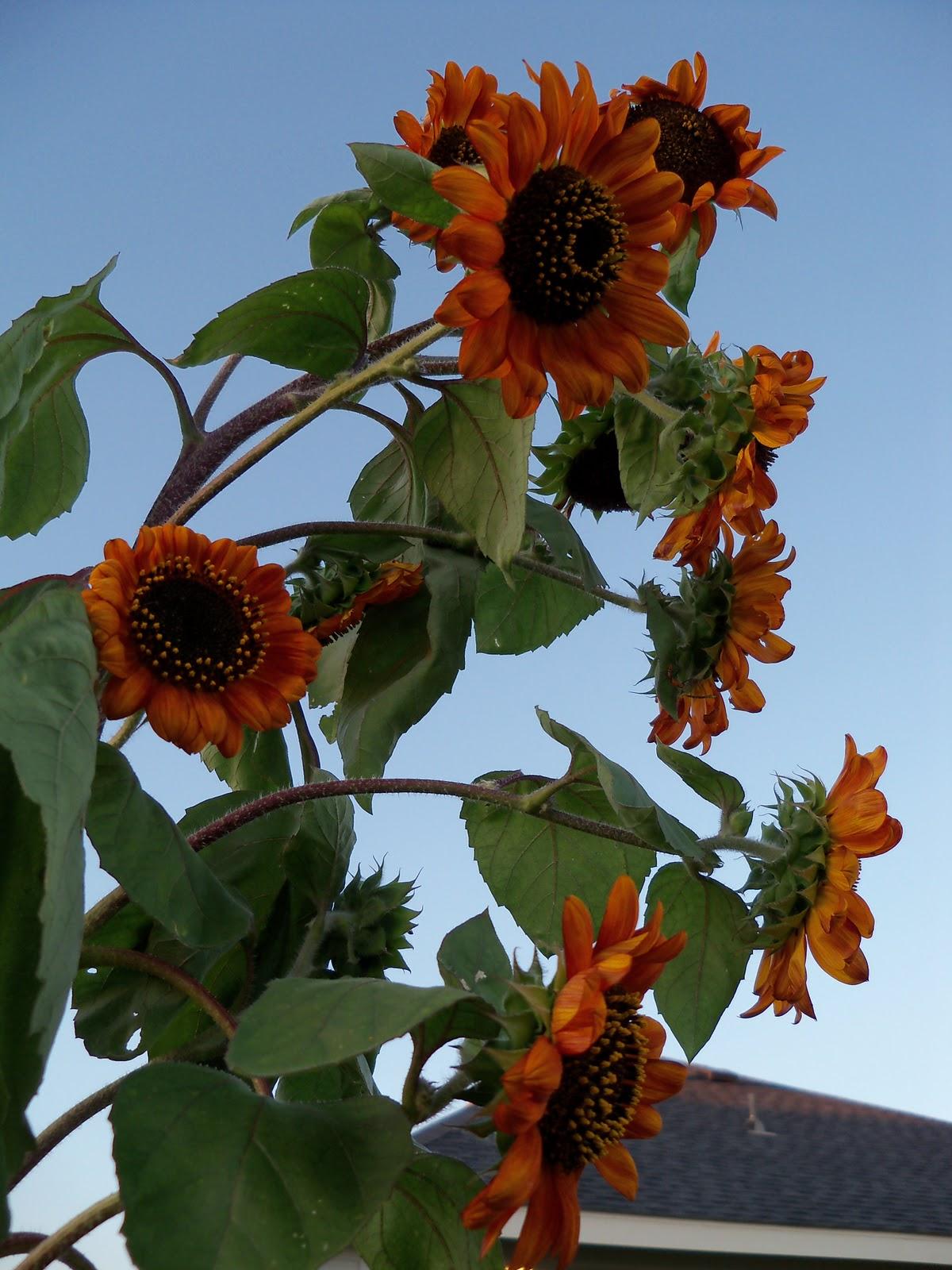 Gardening 2010, Part Three - 101_3983.JPG