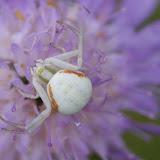 Thomisidae : Misumena vatia (CLERCK, 1757). Hautes-Lisières (Rouvres, 28), 7 juillet 2012. Photo : J.-M. Gayman
