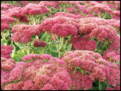 Sedum-Autumn-Joy1
