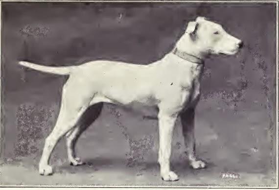 Bull Terrier no século XIX