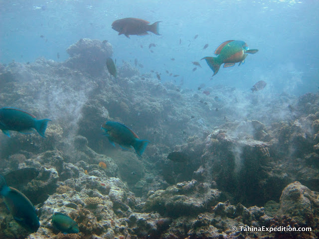 Big school of parrot fish