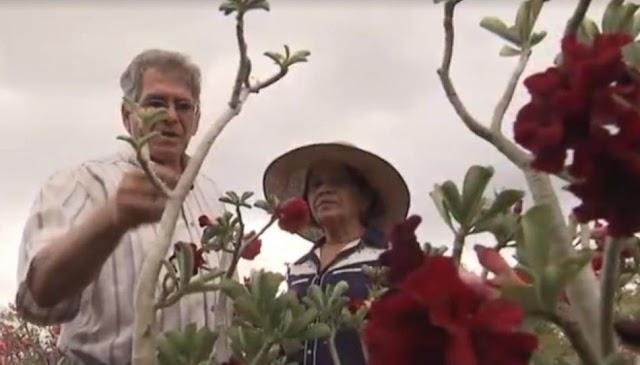 Casal se dedica ao cultivo de ROSA DO DESERTO no Município de Morro do Chapéu; relembre a história