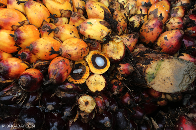 Palm oil is produced by pressing the fruit of oil palm trees, which grows in bunches. Photo: Mongabay