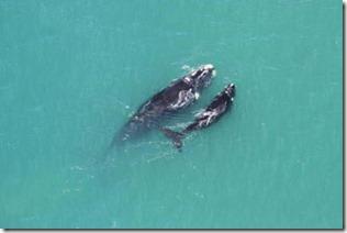 baleias-franca-preservação