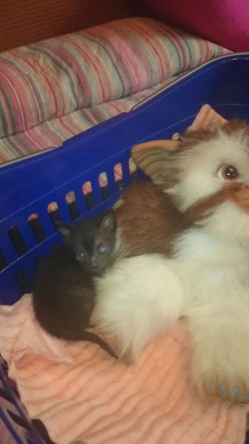 Gatito busca hogar en Luyando (Alava) IMG-20150912-WA0017