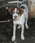 02-07-2012. Esse cachorro se perdeu no Centro de Piracicaba. 7 meses. Perdigueiro, porte grande. Atende pelo nome de Bandy. Quem o encontrar, favor ligar para Luciana   2532-4422 / 9352-4784. Gratifica-se!