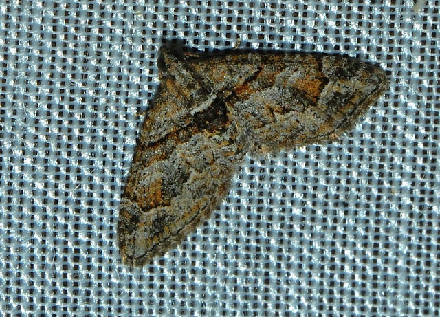 Geometridae : Larentiinae : Eupitheciini : Mnesiloba eupitheciata WALKER, 1863. Umina Beach (N. S. W., Australie), 27 décembre 2011. Photo : Barbara Kedzierski