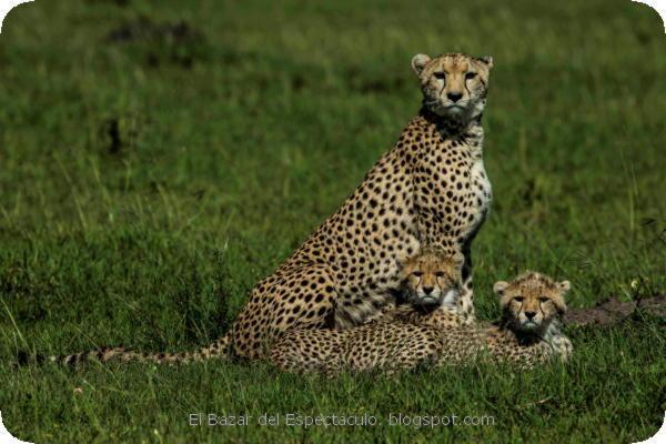 Semana de Grandes Felinos en NAT GEO WILD (5).jpeg