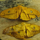 Saturniinae : Copaxa syntheratoides Rothschild, 1895, femelles. Mount Totumas, 1900 m (Chiriqui, Panamá), 22 octobre 2014. Photo : J.-M. Gayman