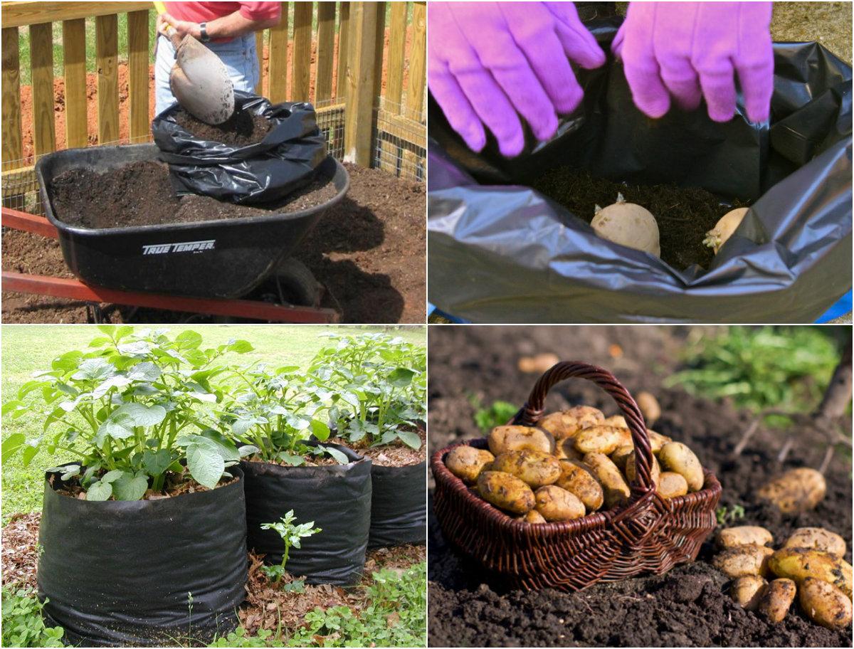 Thử nghiệm cách trồng khoai tây trong túi đơn giản cực sai củ - 55e4db44a1341