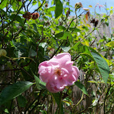 Gardening 2015 - 116_9395.JPG